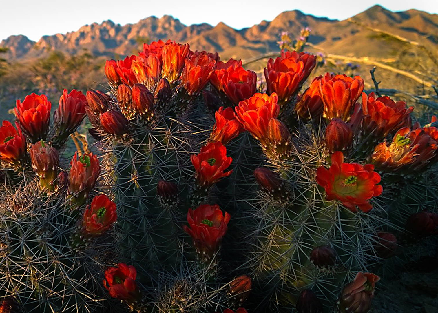 Soledad Canyon Blooming Cactus